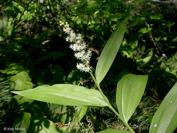 Image of feathery false lily of the valley
