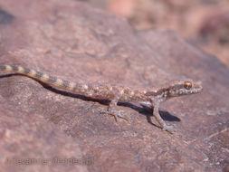 Image of Northern Sand Gecko