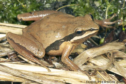 Image of Brimley's Chorus Frog