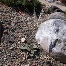 Image of redroot buckwheat