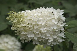 Image of panicled hydrangea