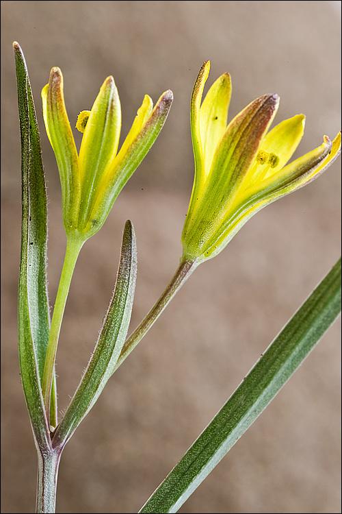 Image of <i>Gagea pusilla</i> (F. W. Schmidt) Sweet