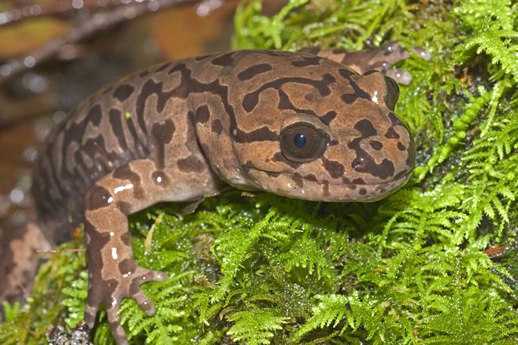 Image of Coastal Giant Salamander