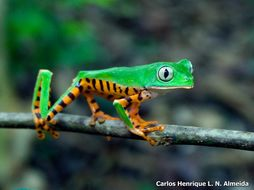 Image of Tiger-striped Leaf Frog