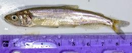 Image of Longfin Smelt