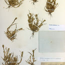 Image of California Orcutt grass
