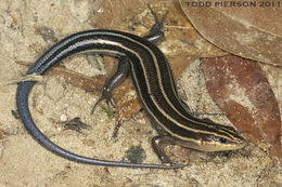 Image of Common Five-lined Skink