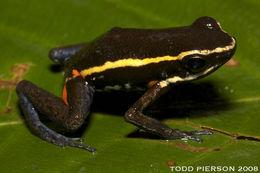 Image of Spot-legged Poison Frog