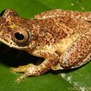 Image of Lesser Treefrog