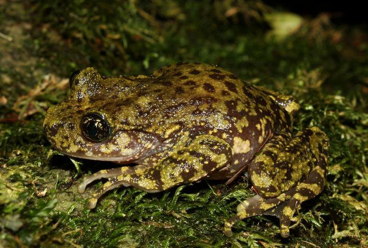 Image of Natal Ghost Frog
