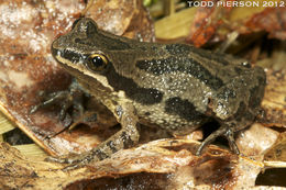 Image of Western Chorus Frog
