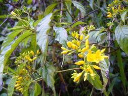Image of <i>Deppea grandiflora</i> Schltdl.