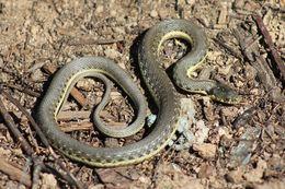 Image of Two-striped Garter Snake