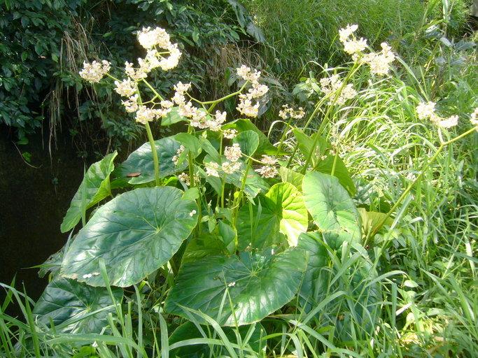 Image of lilypad begonia