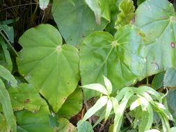 Image of <i>Begonia stigmosa</i> Lindl.