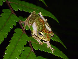 Image of Celebes Flying Frog