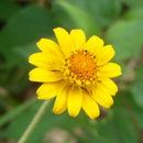Image of melampodium