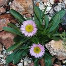 Image of Rothrock's Townsend daisy