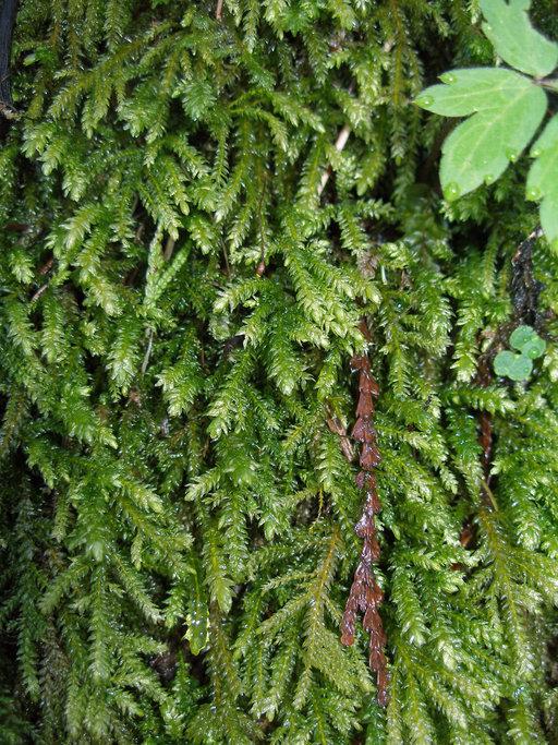 Image of Necker's thamnobryum moss