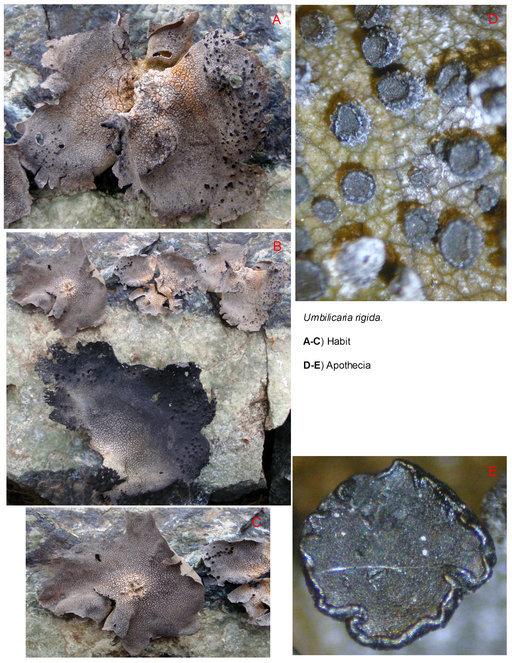 Image of rigid navel lichen