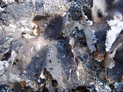 Image of Havaas' navel lichen