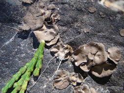 Image of silverskin lichen