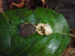 Image of <i>Hymenogaster subalpinus</i> A. H. Sm. 1966