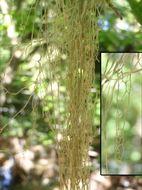 Image of Fishnet;   Menzies' cartilage lichen