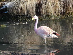 Image of James's Flamingo