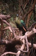 Image of Green peafowl