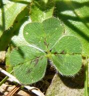 Image of subterranean clover