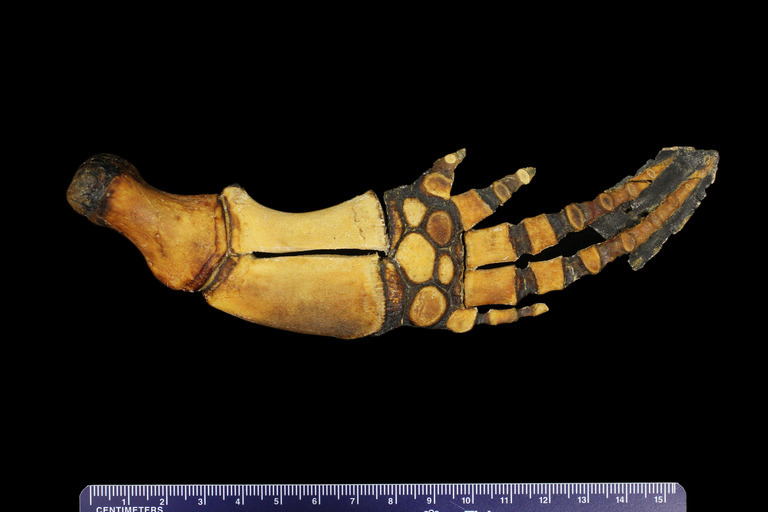Image of <i>Phocoena phocoena vomerina</i> Gill 1865