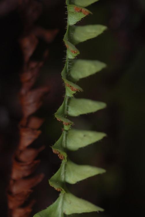 Image of pendant kihifern