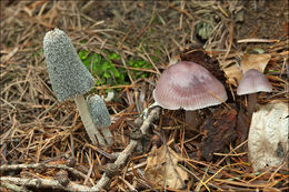 Image of Hare's Foot Inkcap