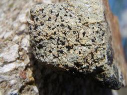 Image of <i>Melaspilea interjecta</i> (Leight.) A. L. Sm.