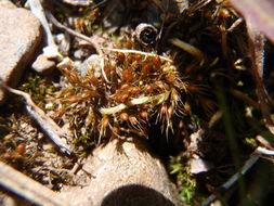 Image of acuminate pleuridium moss