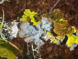 Image of Hall's lung lichen