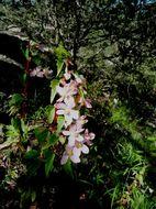 Image of <i>Begonia gracilis</i> Kunth