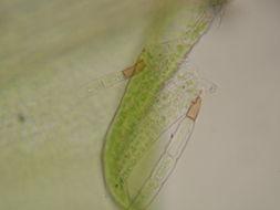 Image of leptobryum moss