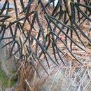 Image of <i>Llavea cordifolia</i> Lag.