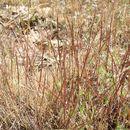 Image of Scribner's grass