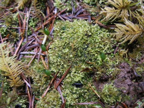 Image of buxbaumia moss