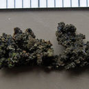 Image of undulate jelly lichen