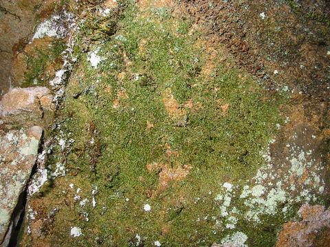 Image of fabronia moss