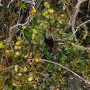 Image of American funaria moss