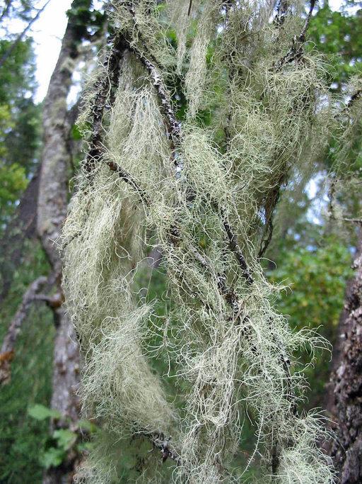 Image of <i>Ramalina thrausta</i> (Ach.) Nyl.