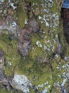 Image of pterigynandrum moss
