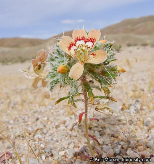 Image of desert calico