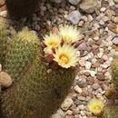 Image of <i>Coryphantha erecta</i> (Lem.) Lem.