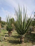 Image of <i>Furcraea macdougalii</i> Matuda